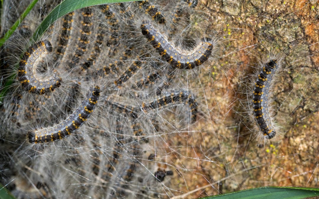 Oak processionary moth caterpillars - toxic insect
