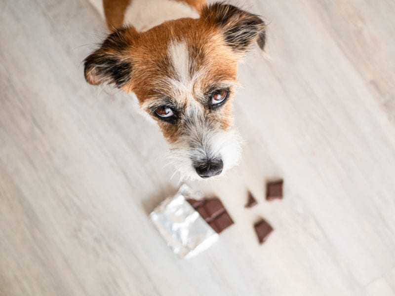 What to do if your dog eats chocolate, first aid for chocolate poisoning